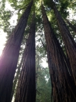 muir woods has some of the tallest red woods in Cali.